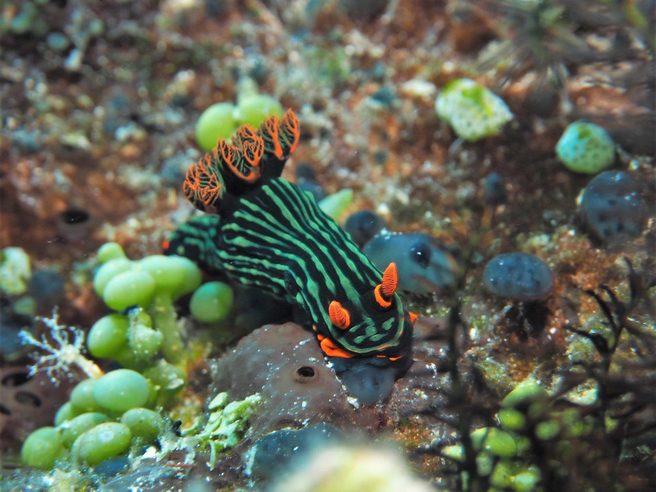 バリカサグ島のアカフチリュウグウウミウシ