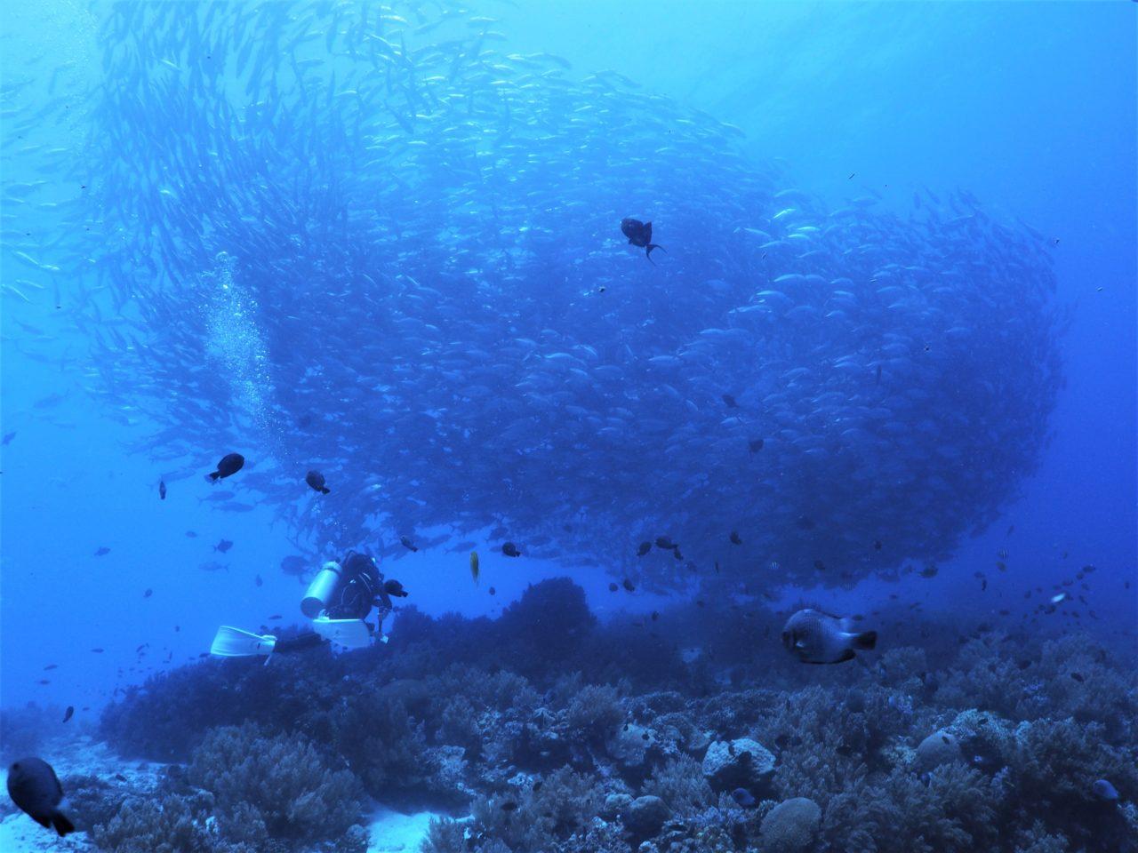 バリカサグ島でソフトコーラルの上に群れるギンガメアジ